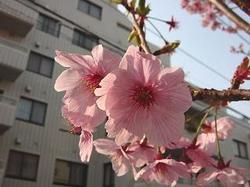 Sakurahanabiara